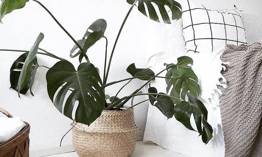 Monstera Decoração com plantas